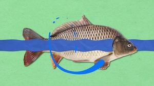 Comment les poissons arrivent-ils à respirer sous l'eau?