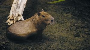 Forêt tropicale, capybaras et paresseux