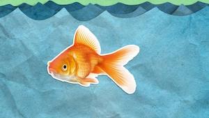 Est-ce vrai que les poissons rouges ont une mémoire de trois secondes?