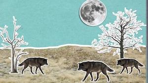 Pourquoi les loups hurlent-ils à la lune?