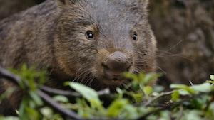 Chanson : Petit animal wombat