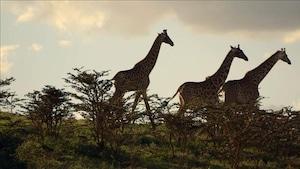 Chanson Girafe en or