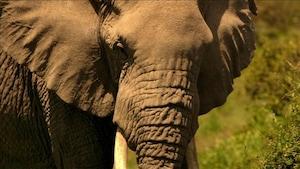 Chanson Zimbo l'éléphant