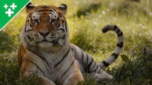 Arthur au Zoo: le tigre