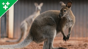 Arthur au Zoo : le wallaby