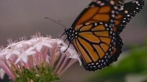 Chanson Les petits papillons