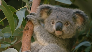 Chanson : Koalala