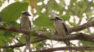 Chanson : Kookaburra