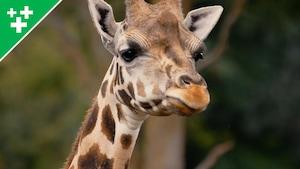 Arthur au Zoo : la girafe