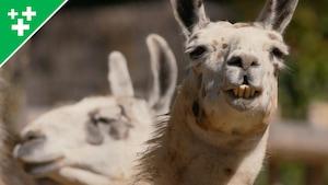 Arthur au Zoo: le lama