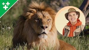 Arthur au Zoo : Le lion d'Afrique