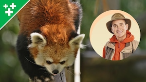 Arthur au Zoo : Le petit panda