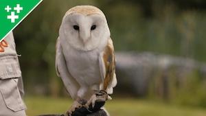Arthur au Zoo : l'effraie des clochers