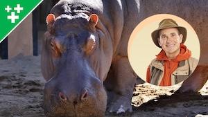 Arthur au Zoo : L'hippopotame commun