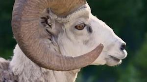 Chanson : Les mouflons