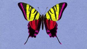 Pourquoi les papillons sont-ils colorés?