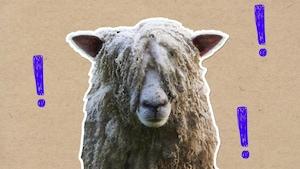 Pourquoi faut-il tondre les moutons?
