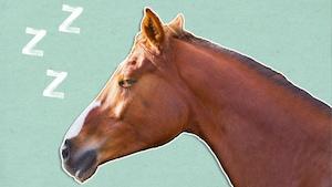 Pourquoi le cheval dort-il debout?