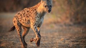 L'hyène