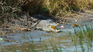 Les animaux australiens : le crocodile marin