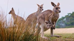 Les animaux australiens : le kangourou