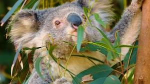 Les animaux australiens : le koala