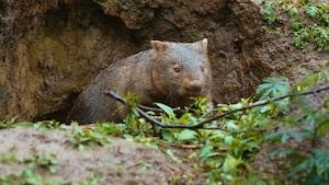 Les animaux australiens : le wombat