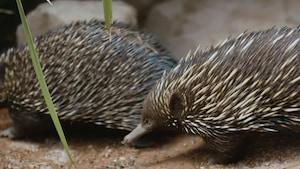 Les animaux australiens : l'échidné