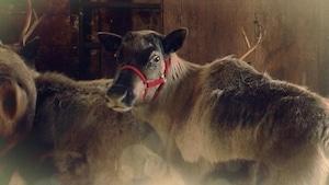 Combien de rennes tirent ton traîneau? - Les plus grands secrets