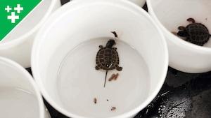 Bonus : Les bébés tortues