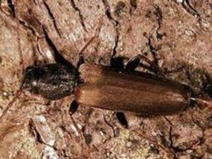 Le longicorne brun de l'épinette