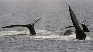 Des baleines noires de l'Atlantique Nord
