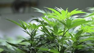 L'impact de la légalisation du cannabis en milieu du travail