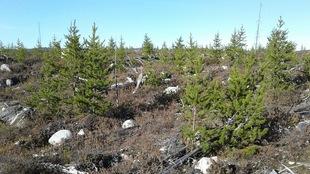 Des conifères de plantation dans une zone de déforestation.