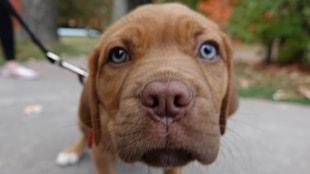 Un chien brun tenu en laisse