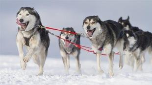 Un attelage de huskies en pleine course