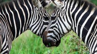 Deux zèbres face à face.