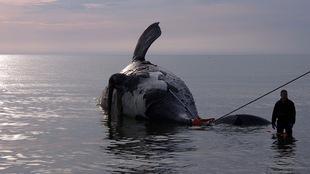 Une baleine noire trouvée morte dans le golfe du Saint-Laurent