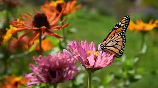 Un papillon monarque posé sur une fleur