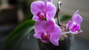 Trois fleurs d'orchidée roses dans un pot