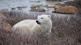 Un ours polaire dans la toundra dans la région de Churchill.
