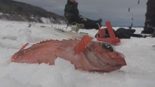 Un sébaste pêché à La Baie