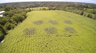 Prise de vue aérienne par drone d'un champ de saules à Saint-Roch-de-l'Achigan. Au centre de l'image, les zones irriguées par des eaux usées se démarquent du reste de la plantation par la coloration plus foncée du feuillage des saules.