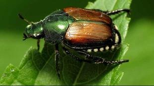 Gros plan d'un insecte à la carapace brune et tête et antennes vertes sur une feuille verte.