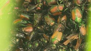 Des dizaines de scarabées japonais, des insectes qui ont du brun et du vert sur le dos.
