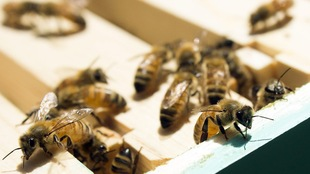 Des abeilles au Marais-de-la-rivière-aux-cerises de Magog