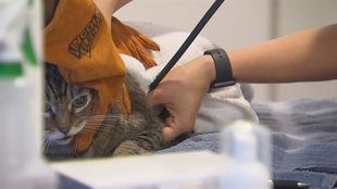 Un chat reçoit un examen vétérinaire.