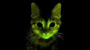 Un chat fluorescent modifié génétiquement