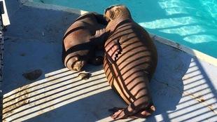Photo de deux jeunes morses âgés d'un an, à l'Aquarium du Québec