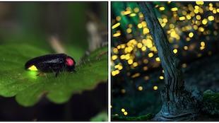 Des lucioles dans les bois.